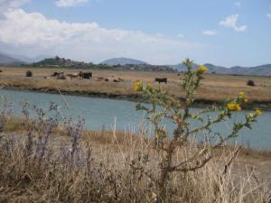 Kühe vor antiken Stätten Bitrintis, lila Disteln...