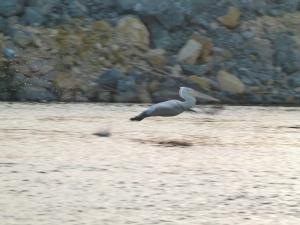 Ein Pelikan, unser einziger der Reise (1500x1125)