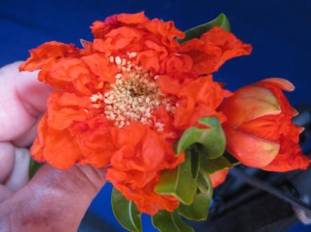 Granatapfel-Blüte (1)