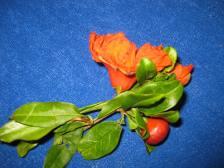 Granatapfel-Blüte (2)