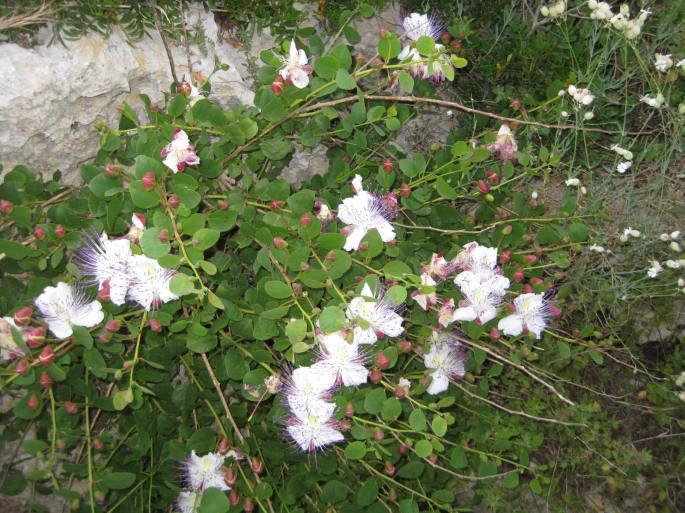 Kapern-Blüten (1)