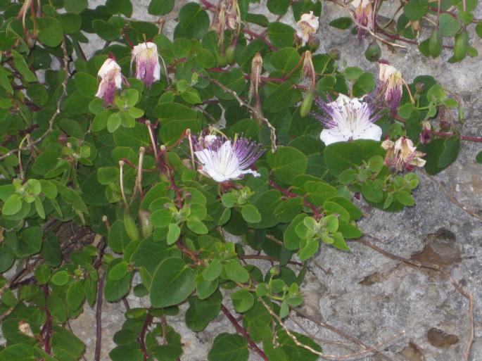 Kapern-Blüten (2)