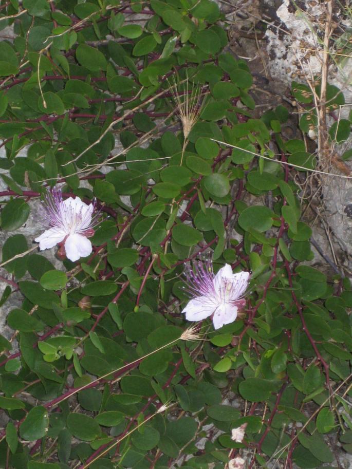 Kapern-Blüten