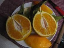 orangen-frisch-vom-baum