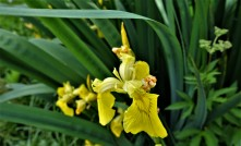 Die gelbe Iris