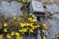 Ein Steingartengewächs an der Hafenmauer (Copy)