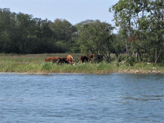 Zwischen Kühen und kl. Booten,0,5m Wasser unterm Kiel (1) (Copy)